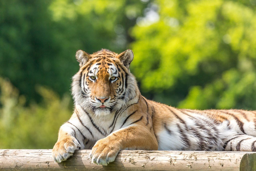A tiger lying down and looking at the camera