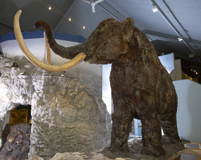 The woolly mammoth at the East Riding Museum of Archaeology